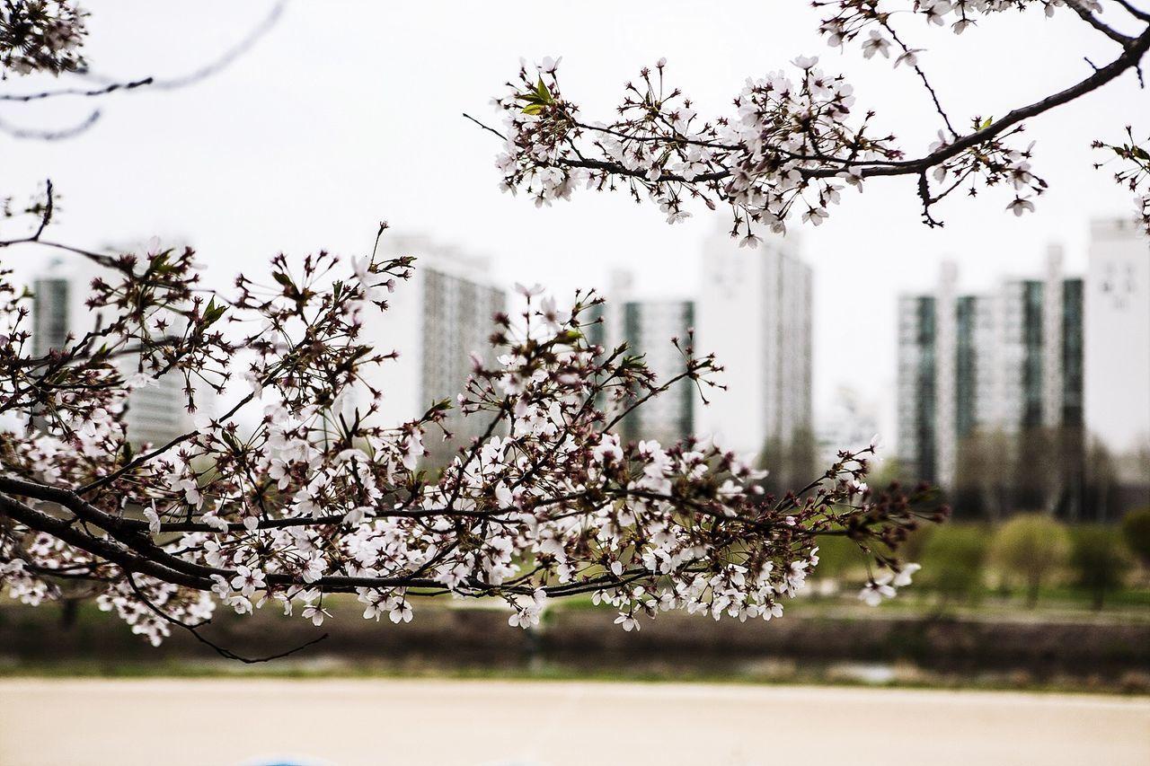 Cherry Blossoms Anyangchun Seoul South Korea Korea Spring