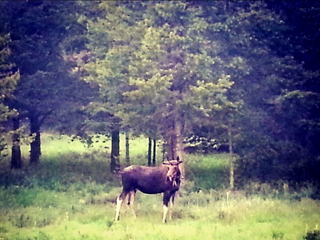 Moose Wildlife Photography Montana Eye For Photography Outdoor Photography Admiring Nature's Beauty