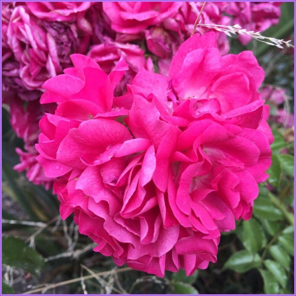 Just another heart flower 💖🌺💖 Heart Flower Loveintheflowers💜 Flower Flowers Asign Tranquility Nature Asign Pinkflowerseries🌷 Beautiful