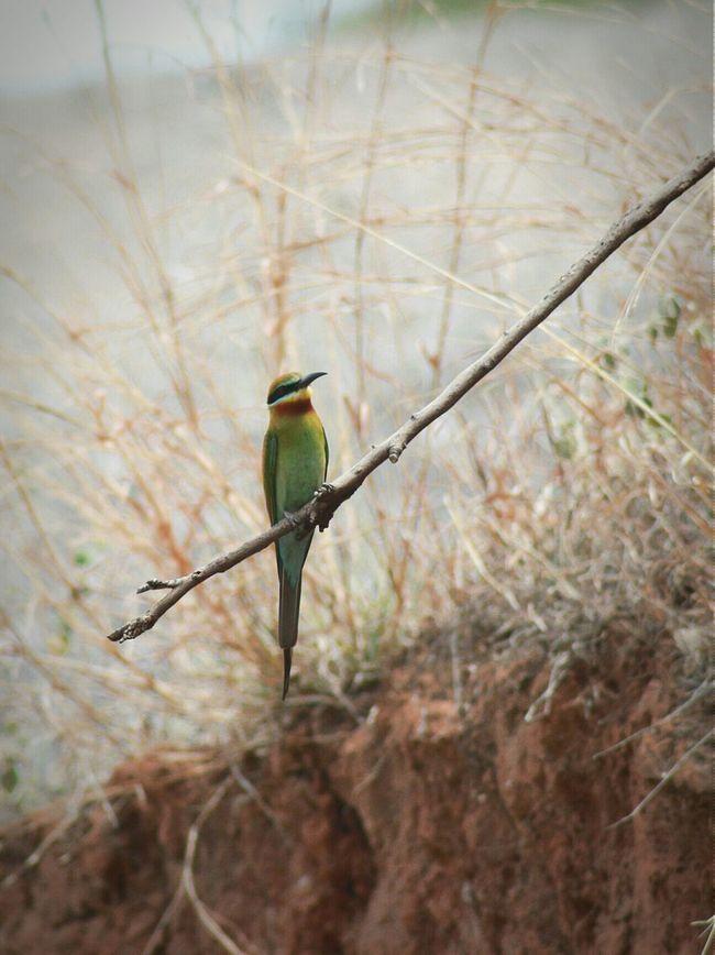 蜂虎 Blue-tailed Bee-eater Bird Taking Photos Tamron Canon Landscape Animal Photography Nature 巧家