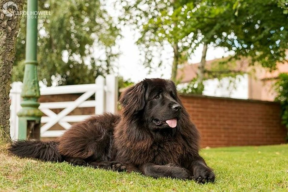 Some relief from all my selfies 😬 meet Bella. The best Newfoundland kisser ever! Newfoundland Wolfe Does UK Pets Corner Pet Photography  Nikon