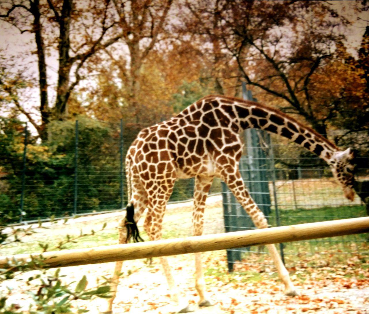 Zoo Animal Themes Tranquil Scene Giraffe♥