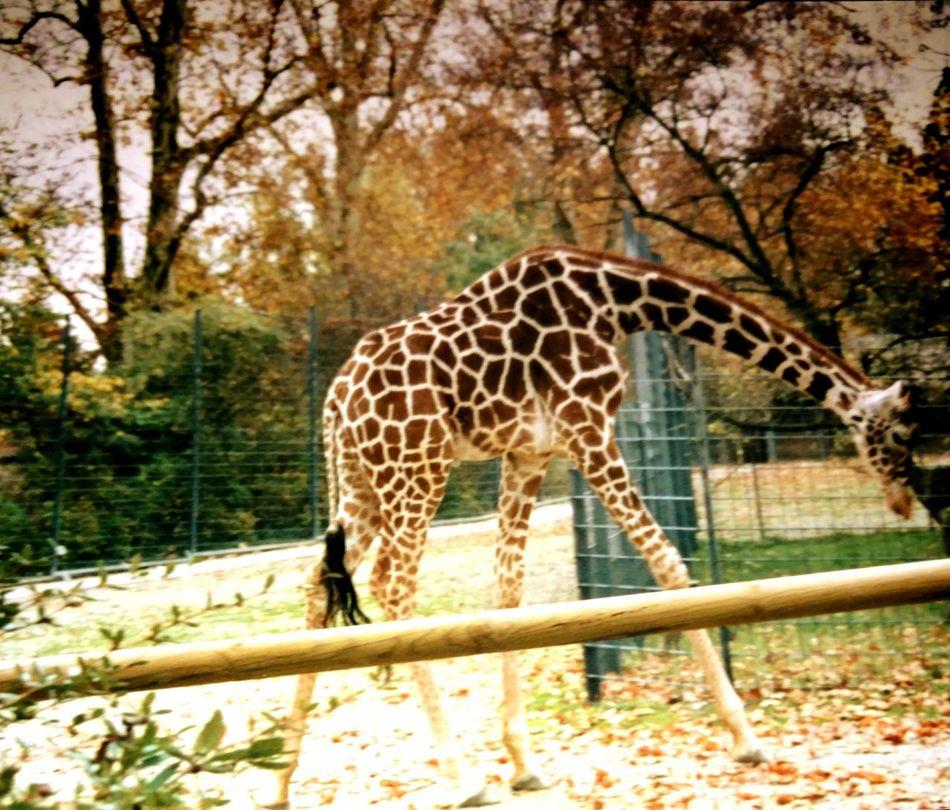 Zoo Animal Themes Tranquil Scene Giraffe♥ EyeEm Diversity