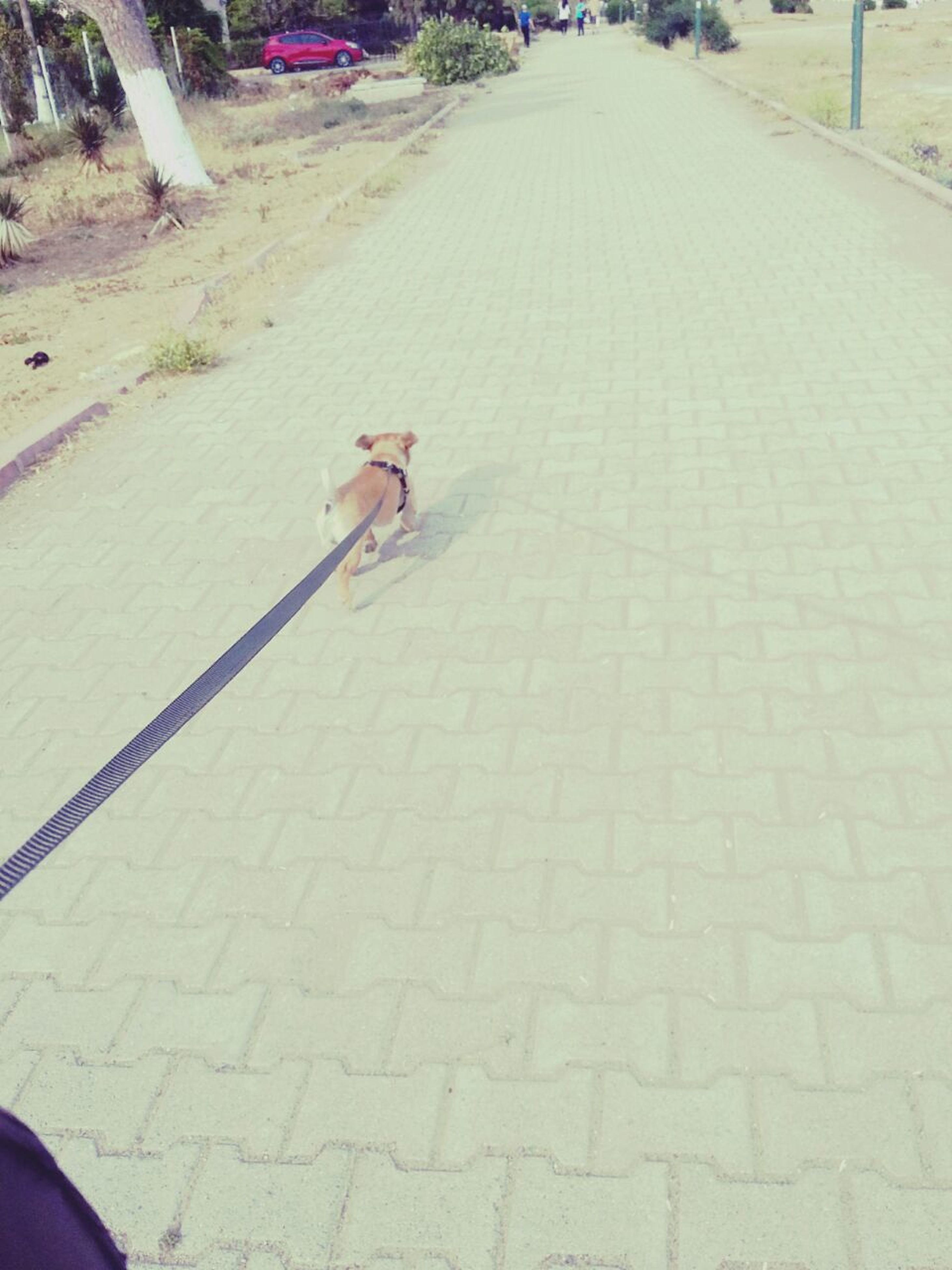 animal themes, one animal, the way forward, road, street, sunlight, shadow, diminishing perspective, outdoors, day, footpath, high angle view, transportation, walking, sidewalk, domestic animals, vanishing point, full length