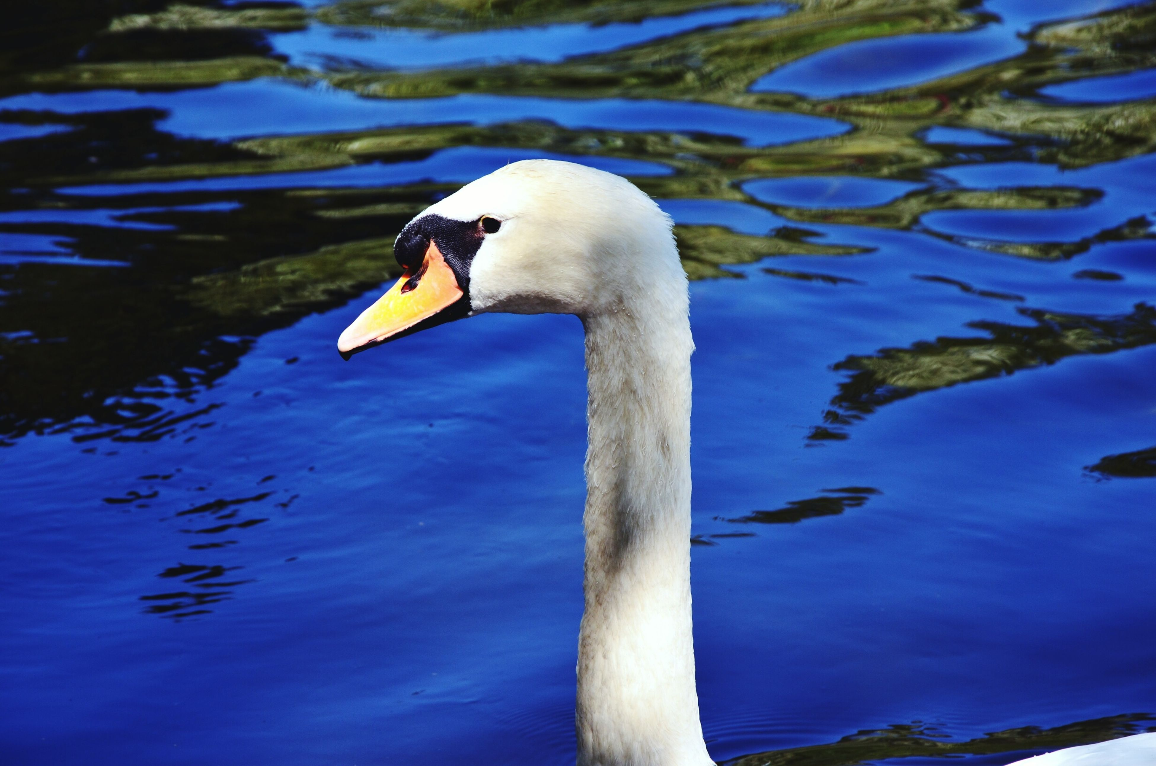 bird, animal themes, animals in the wild, wildlife, one animal, beak, water, lake, side view, white color, blue, close-up, swan, rippled, swimming, nature, outdoors, day, animal head, water bird, avian, tranquility, water surface, zoology, mountain, beauty in nature, scenics