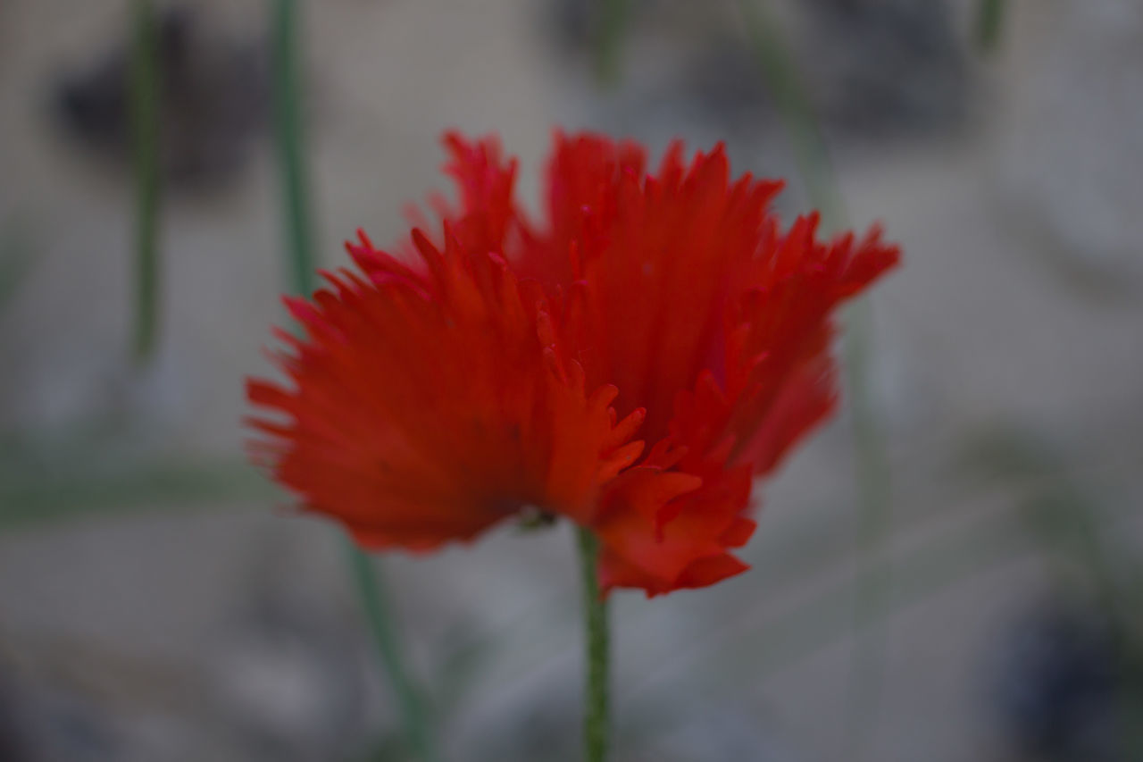 Beauty In Nature Close-up Flower Flower Head Fragility Freshness Growth Nature No People Petal Plant Poppy Flowers Red