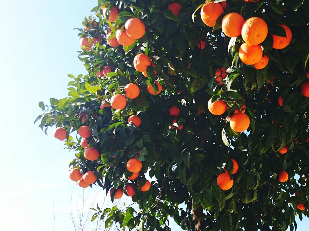 fruit, orange - fruit, orange tree, orange color, growth, tree, freshness, low angle view, outdoors, citrus fruit, leaf, food and drink, day, no people, beauty in nature, nature, food, healthy eating, green color, branch, sky, close-up