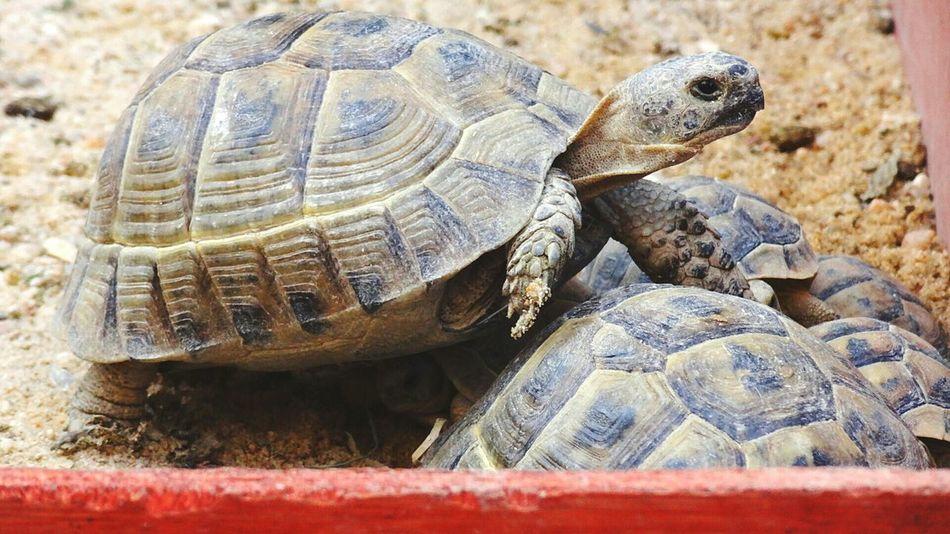 Tortoise Turtles(: