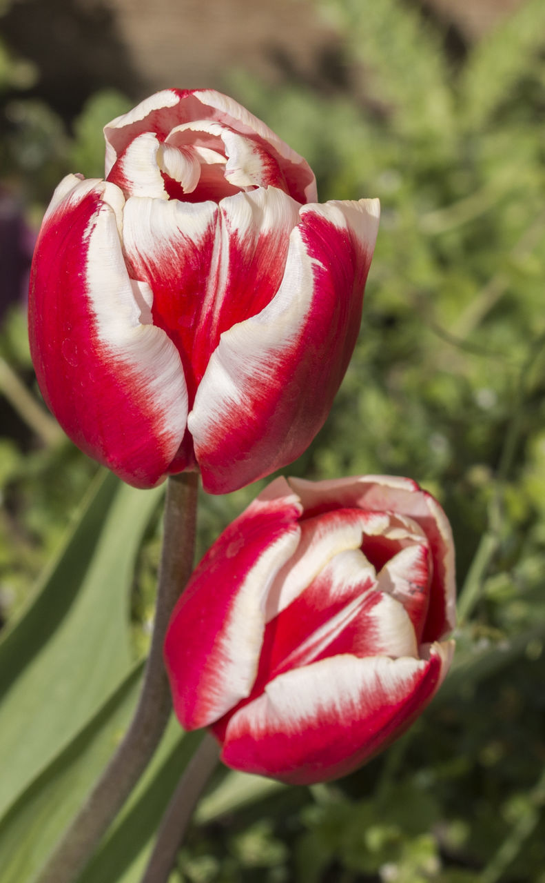 nature, flower, growth, beauty in nature, petal, freshness, fragility, plant, red, flower head, tulip, close-up, no people, blooming, day, outdoors