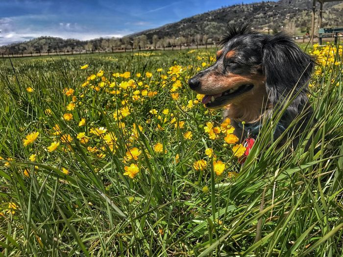 Dachshund In Wildflowers Dog Pets Flower One Animal Domestic Animals Animal Themes Field Nature Day Grass Outdoors Growth Mammal Beauty In Nature Yellow No People Sky Plant Retriever Close-up Mountains And Sky Flower Head Freshness TehachapiCalifornia Tehachapi pop