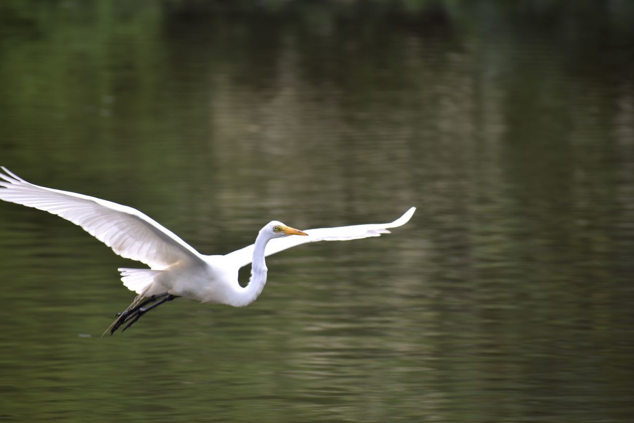 One Animal Bird White Color Spread Wings Animal Themes Animals In The Wild Flying Lake Nature Water Great Egret Day No People Outdoors Great Egrets