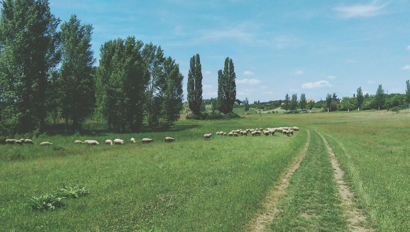 Tihany Tihany Hungary Tree Lush - Description Grass Outdoors Green Color Sheep Agriculture Farming Shepherd Beauty In Nature Nature Tree Travel Destinations Tranquility