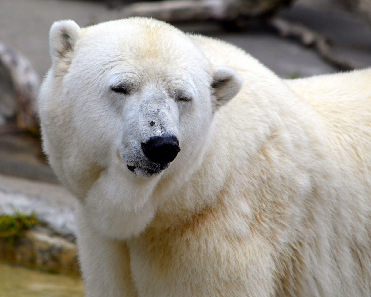 Beautiful stock photos of polar bear, Animal Themes, Day, Focus On Foreground, Nature