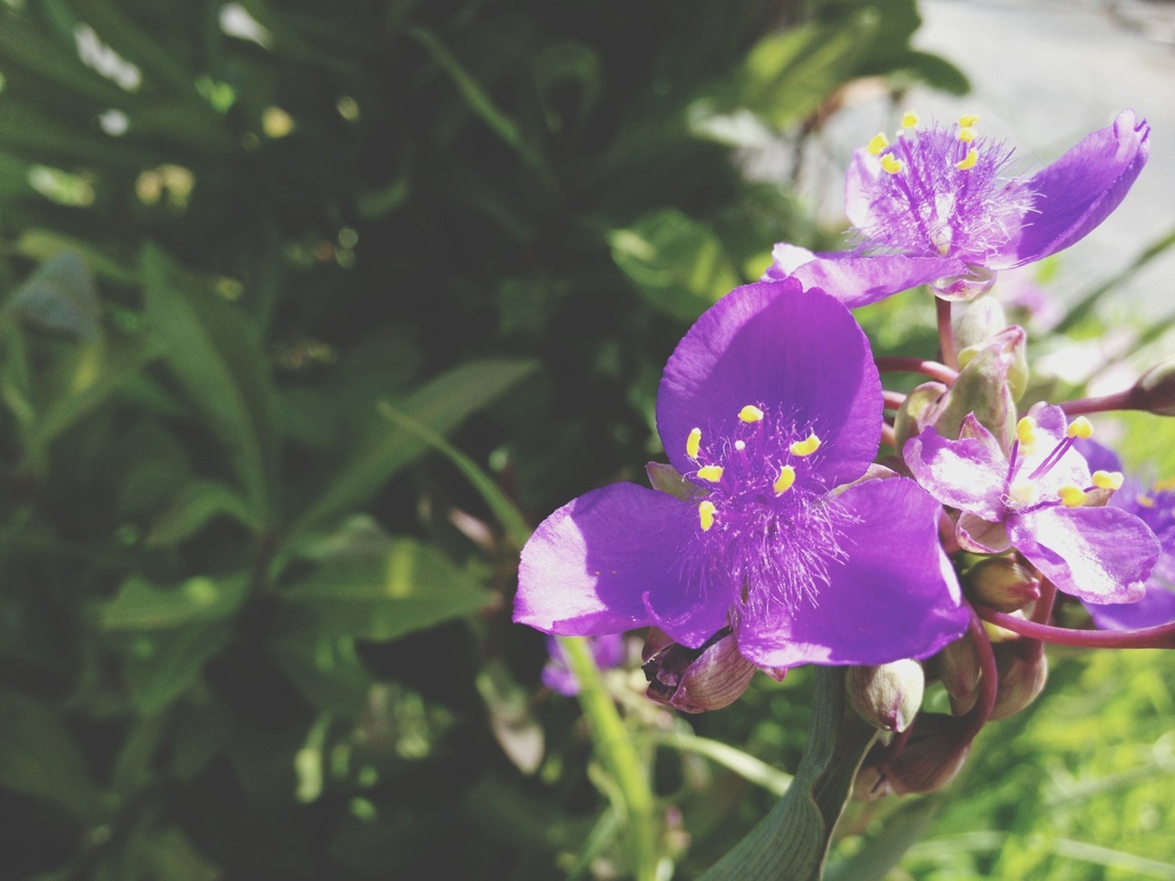 flower, freshness, petal, fragility, flower head, growth, purple, beauty in nature, close-up, blooming, focus on foreground, plant, nature, in bloom, pollen, stem, pink color, day, outdoors, no people