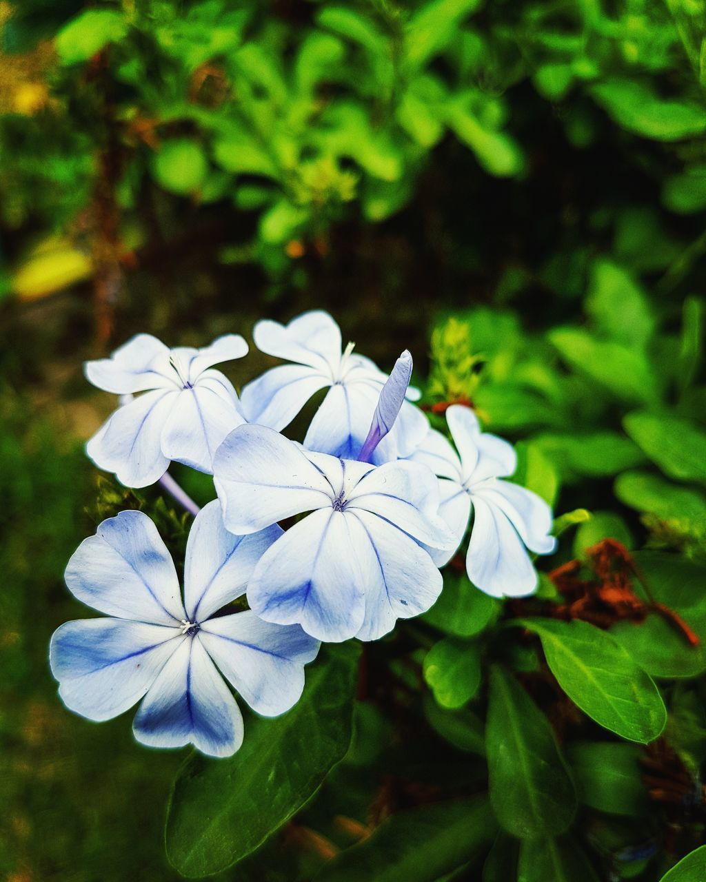 flower, beauty in nature, nature, petal, growth, fragility, flower head, white color, plant, freshness, day, green color, focus on foreground, blooming, outdoors, leaf, no people, close-up, periwinkle