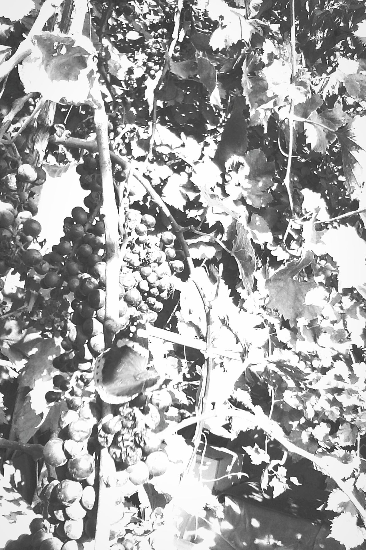 Plant Nature Close-up Grape Vineyard Insect Butterfly Butterfly - Insect Slowfood Fruits Grapes @wolfzuachis Showcase: 2016 Showcase: October Ionitaveronica Eyeem Market Wolfzuachis Leaves Leafs Vines Monocrome Monocrome Photography Monocromephotohraphy Black & White Monochrome Photography