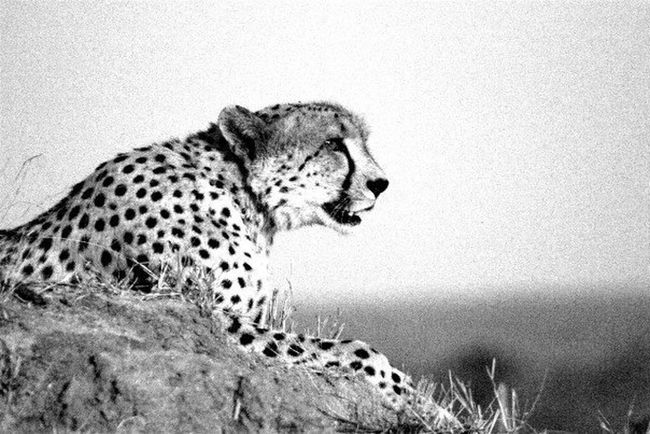 Male cheetah, Londolozi, South Africa Wildlife Nature Animals Monochrome