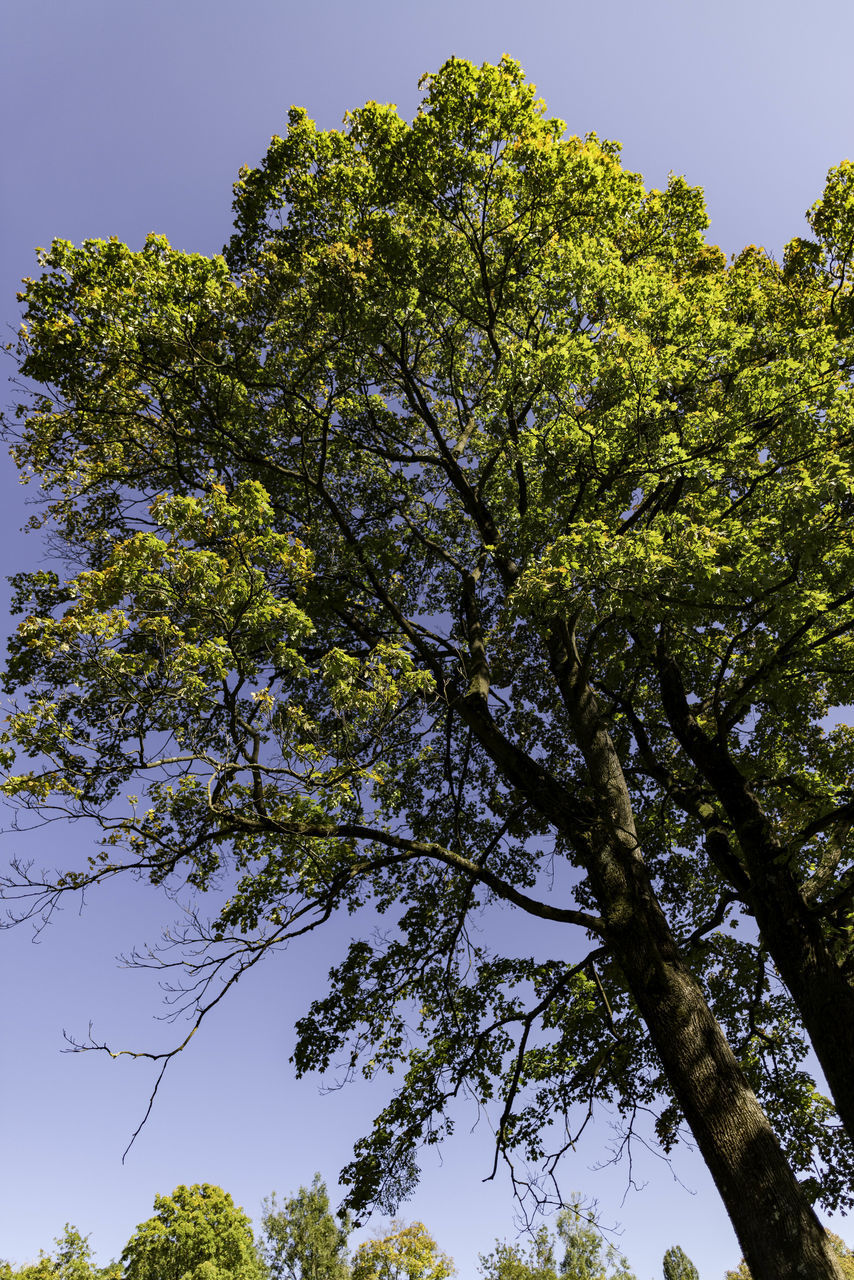 tree, low angle view, growth, nature, beauty in nature, branch, day, clear sky, no people, outdoors, sky