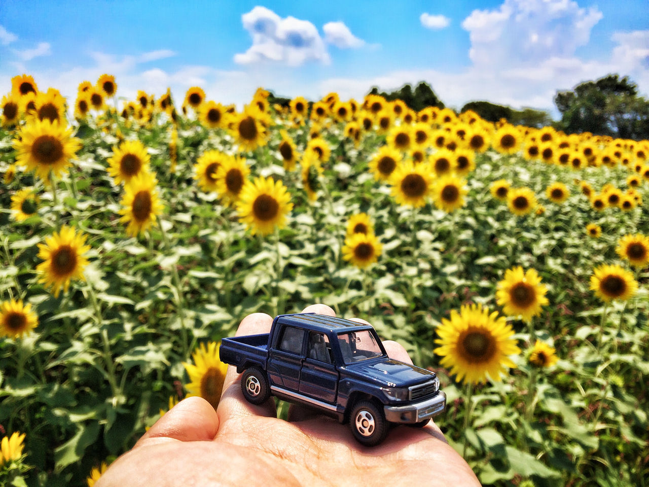 Sunflower field┃ Beautiful Beautiful Nature Beauty In Nature Beauty In Nature Car Clouds And Sky EyeEmNewHere Flower Flower Head Human Body Part Human Hand Nature Nature Nature Photography Nature_collection Naturelovers No People Outdoors Plant Sky Sky And Clouds Summer Sunflower Sunflowers The Great Outdoors - 2017 EyeEm Awards