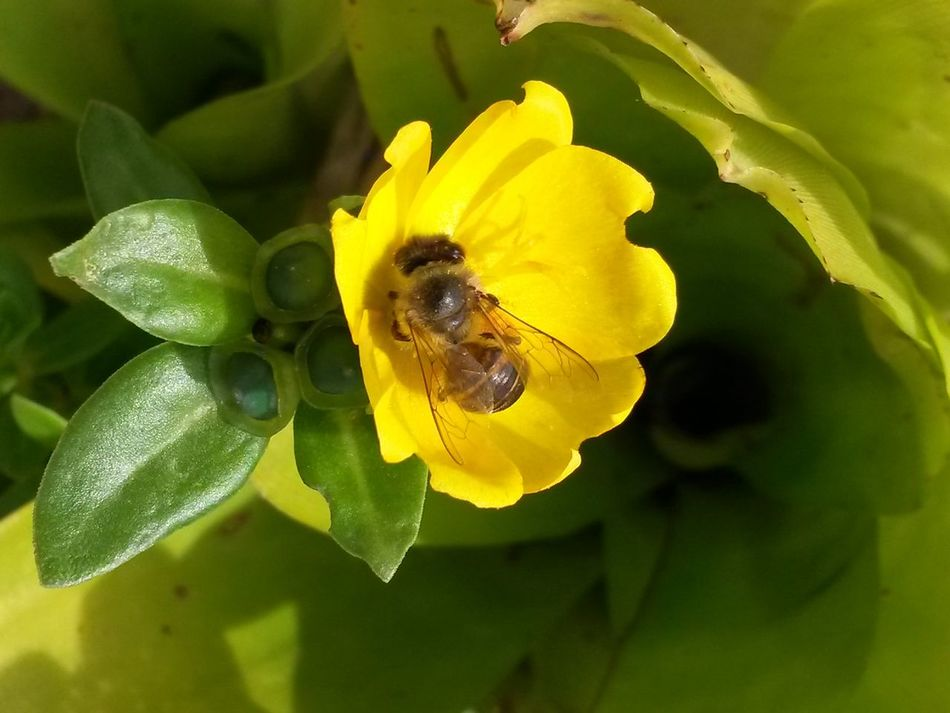 Flower Yellow Freshness Flower Head Close-up Focus On Foreground Humble-bee South Africa No People