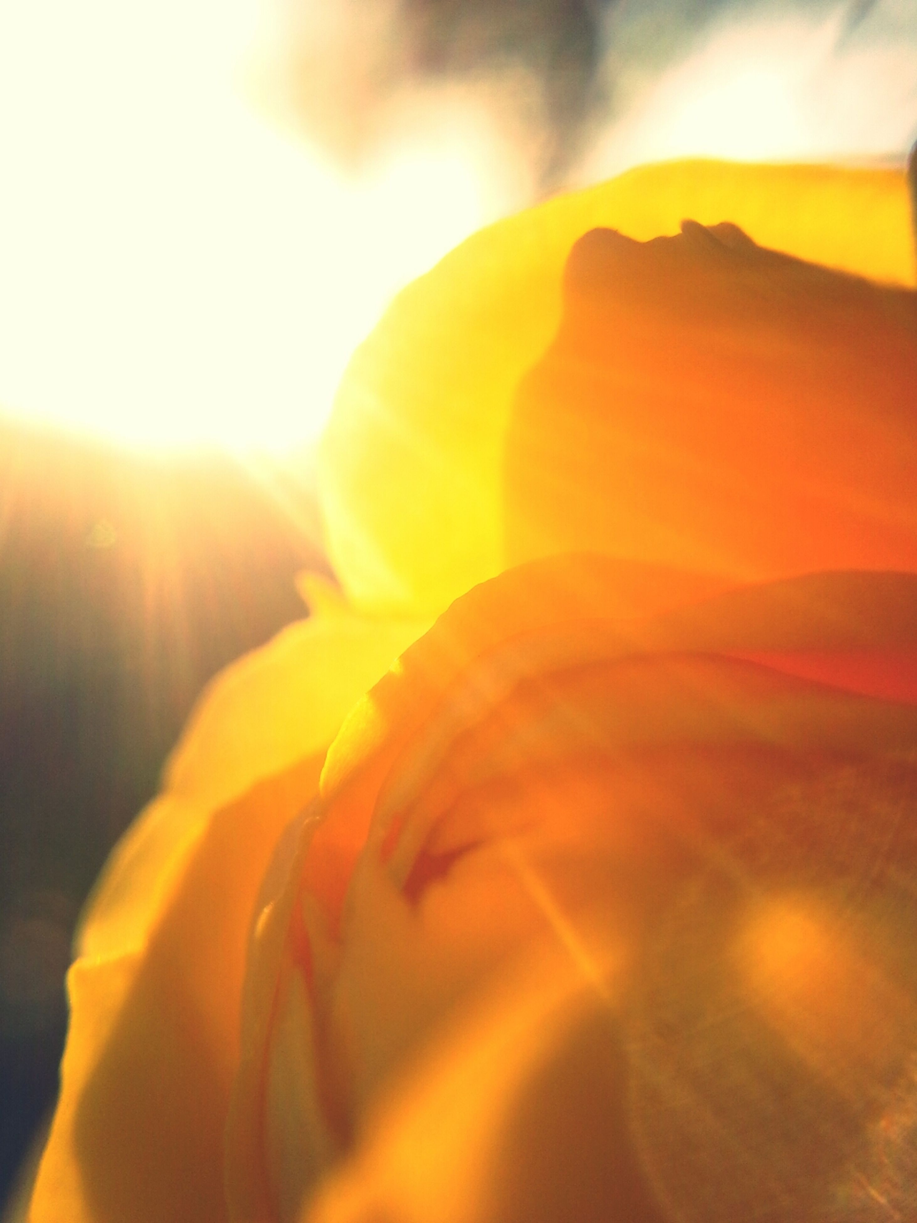 petal, beauty in nature, close-up, flower, orange color, nature, fragility, freshness, yellow, flower head, sunlight, sun, growth, focus on foreground, sunset, single flower, outdoors, sunbeam, lens flare, no people
