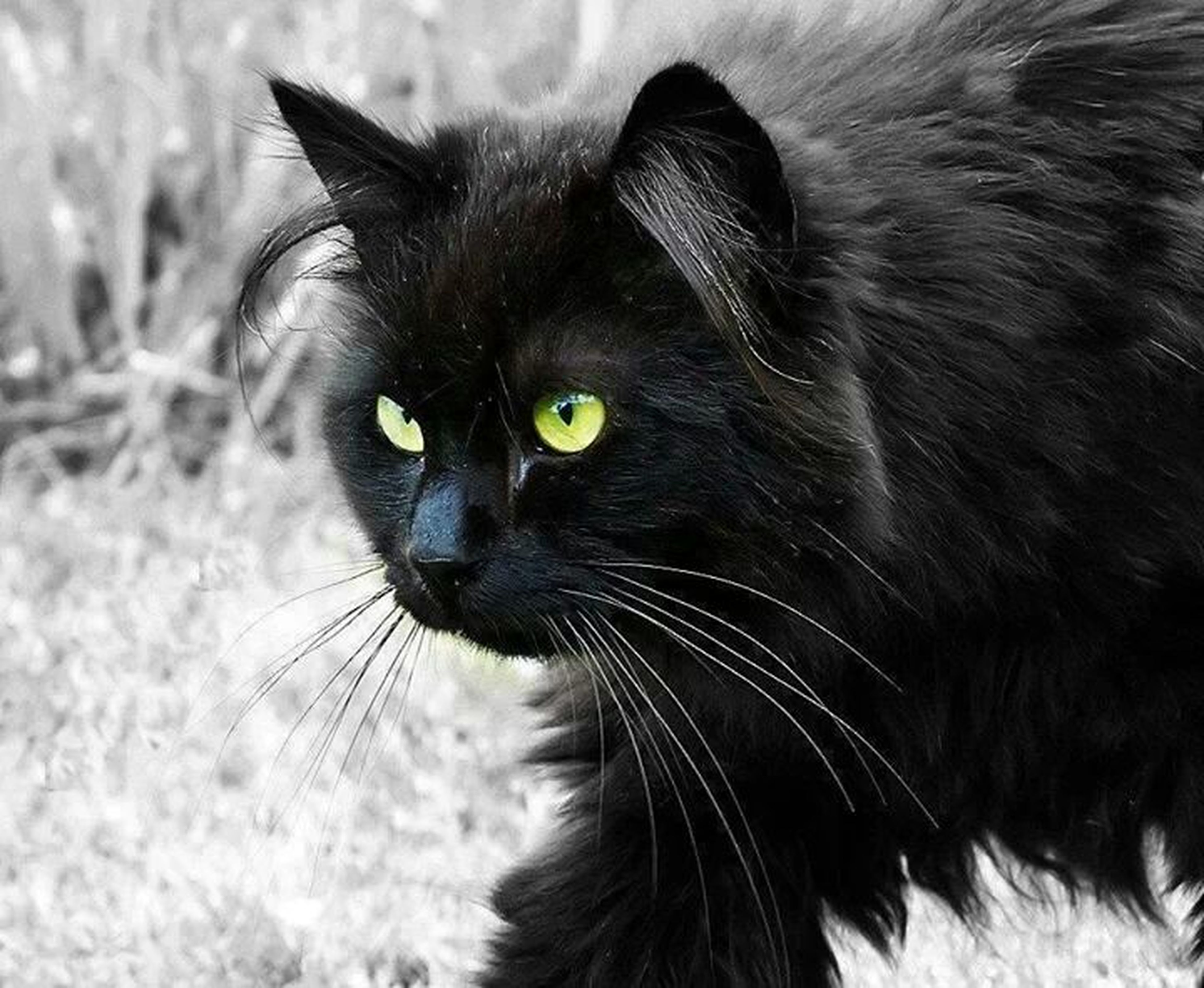 one animal, animal themes, pets, domestic cat, domestic animals, mammal, cat, whisker, feline, black color, close-up, animal head, portrait, focus on foreground, animal eye, looking at camera, alertness, animal body part, field