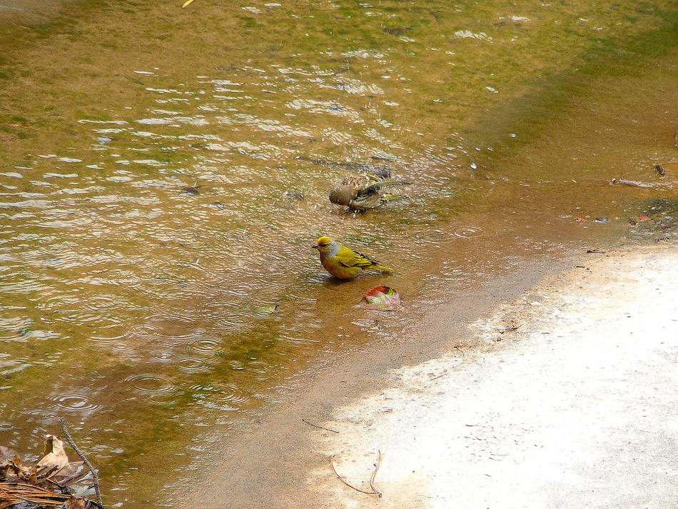 Wild Atlantic Canary, Robertson ~ Bathing Birds In The Wild Canary Creek Day High Angle View Nature No People One Animal Outdoors Splashing Droplet Swimming Water Waterdrops