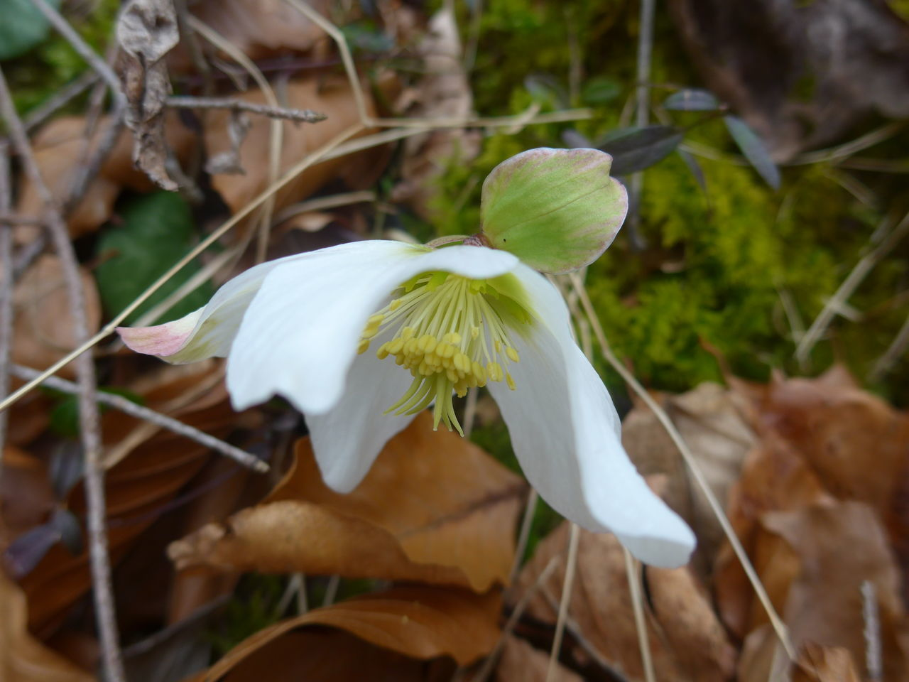 Hiking trough still winterly woods - and suddenly a field full of christmas roses Christmas Rose Christrose Flower Collection Helleborus Niger Schneerose Spring Spring Flowers Yeah Springtime!