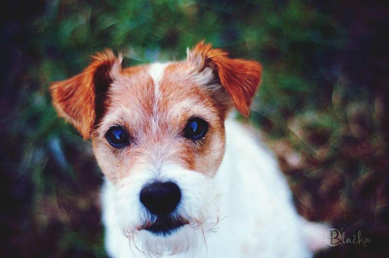 ❤ First Eyeem Photo Parson Russell Terrier Dog Terrier Animal Photography Canine Photography