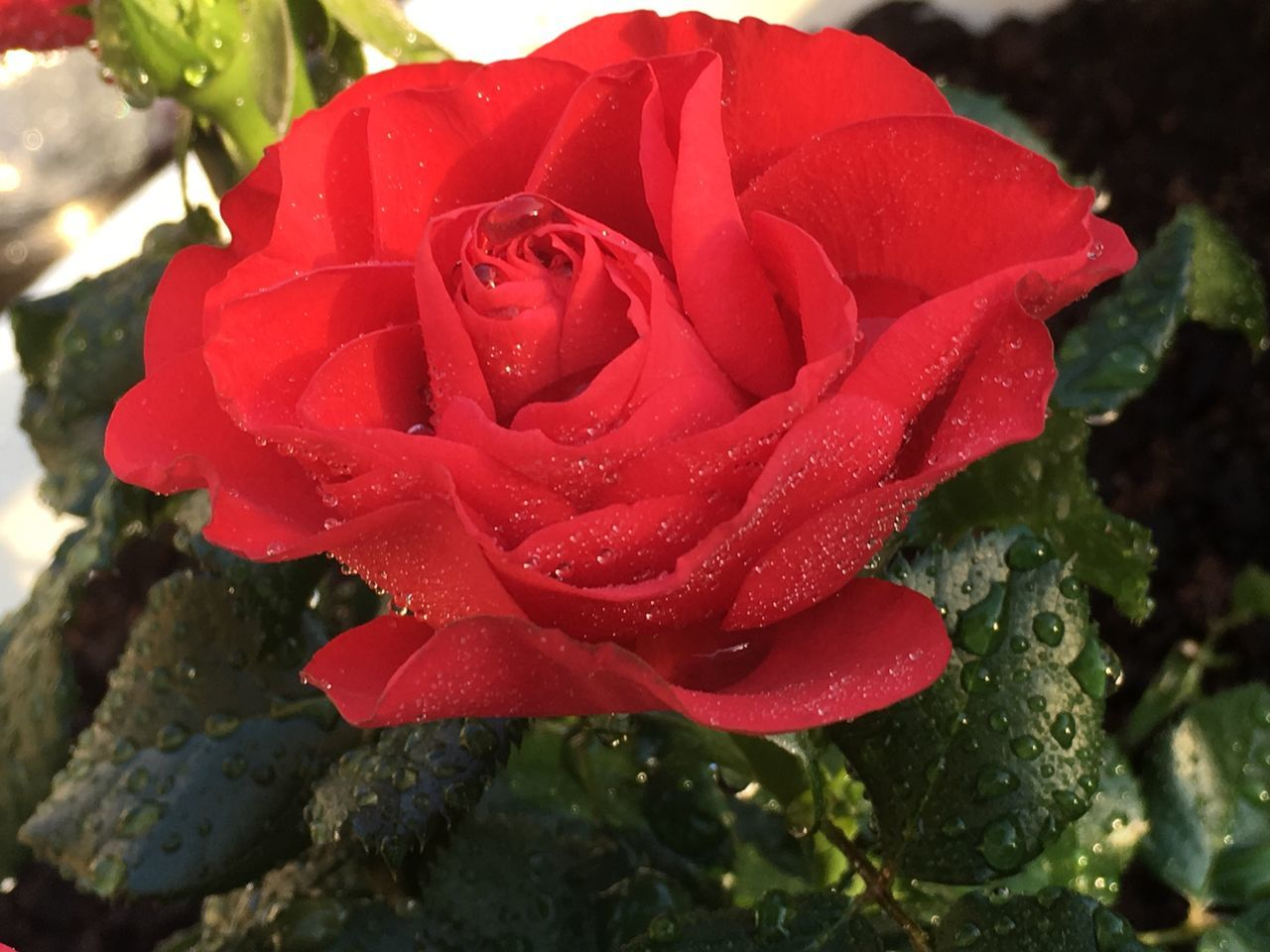 drop, wet, water, nature, growth, freshness, petal, beauty in nature, flower, rose - flower, red, raindrop, fragility, flower head, close-up, no people, plant, purity, day, outdoors, blooming
