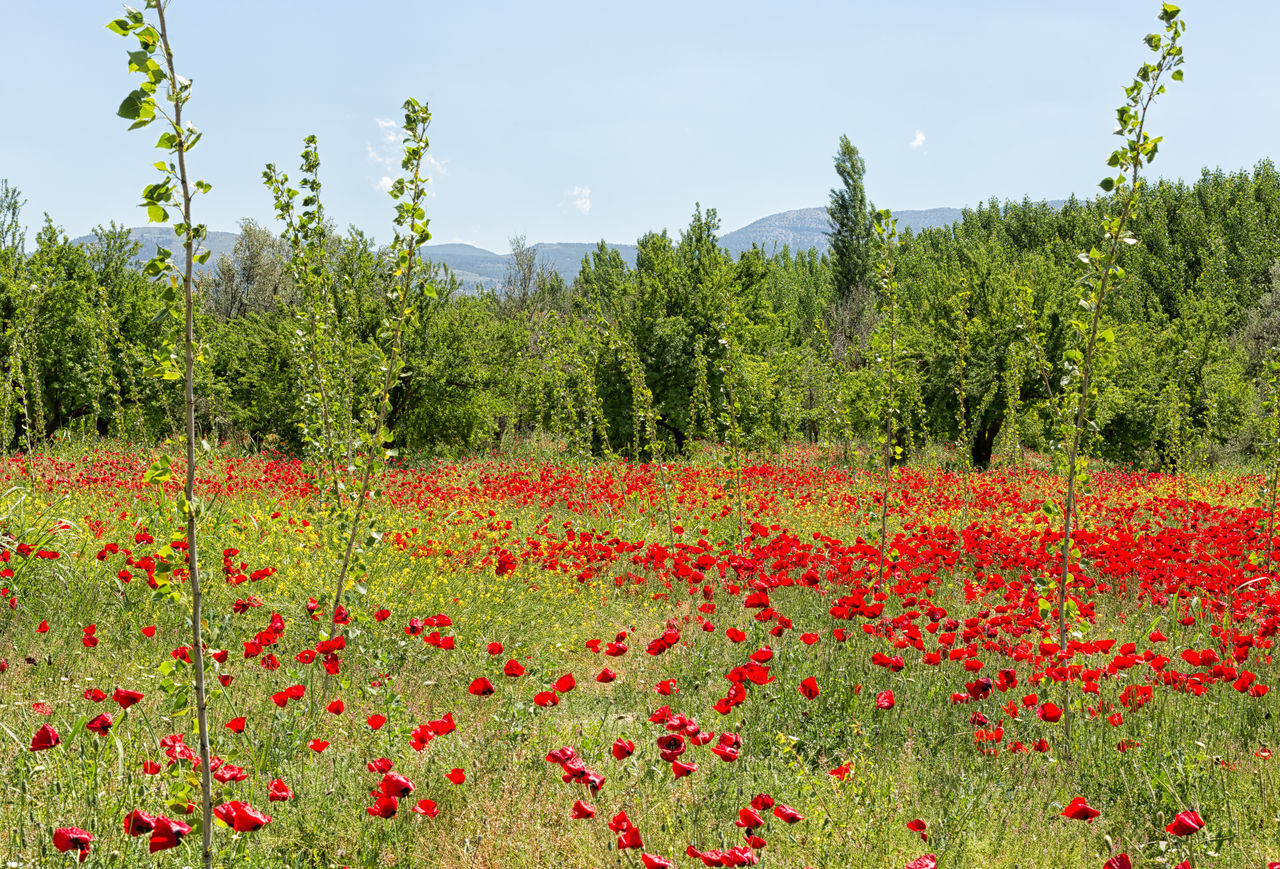 Poppy Fields Beauty In Nature Field Flower Freshness Growth Landscape Nature Outdoors Plant Poppy Flowers Red Scenics Sky Tranquility Tree Wildflowers Yellow Yellow Flower