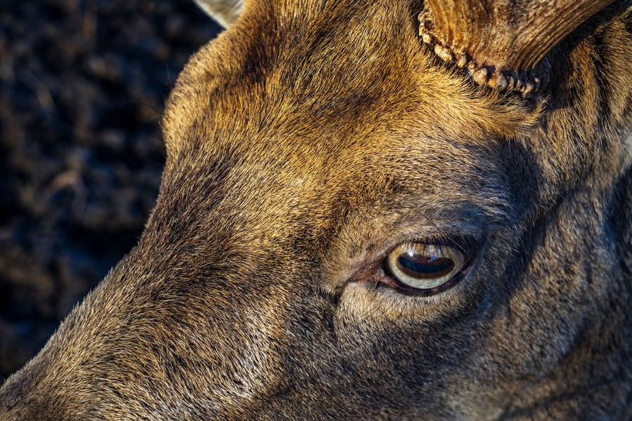 Animal Animal Body Part Animal Eye Animal Themes Animals In The Wild Close-up Damwild Day HEAD Mammal Nature No People One Animal Outdoors Germany The EyeEm Collection Getty Images Premium Collection