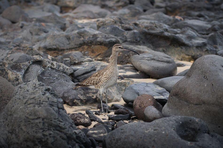 Fuerteventura At The Beach Am Strand Animal Wildlife Animals In The Wild Bird Animals In The Wild Outdoors Wasservogel Water Bird Water Bird Collection Vogel Vogel