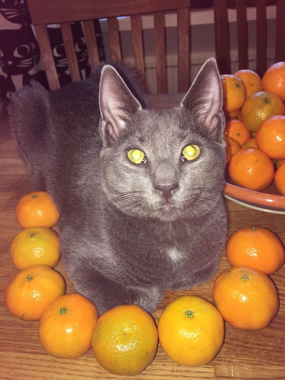 Cat On The Table Cat Oranges Cat♡ Cateyes Domestic Cat Domestic Animals