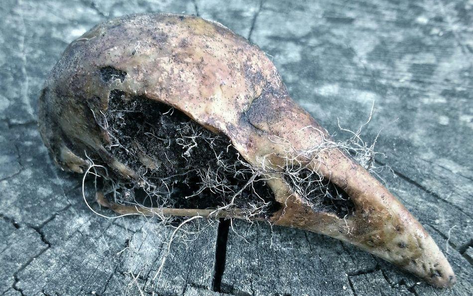 Beautiful stock photos of death, Animal Body Part, Animal Skull, Beak, Bird