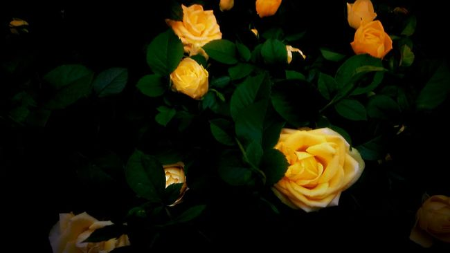 Flower Freshness Fragility Petal Flower Head Beauty In Nature Yellow Nature Selective Focus Plant Vibrant Color Nature EyeEmBestPics Plant Life EyeEm Best Shots Nature Photography EyeEm Best Edits Yellow Rose Roses