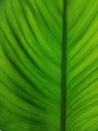 Green Color Leaf Nature Backgrounds Close-up Palm Leaf Full Frame Freshness Frond Textured  Palm Tree Fragility No People Day Banana Leaf Growth Beauty In Nature Banana Tree Outdoors