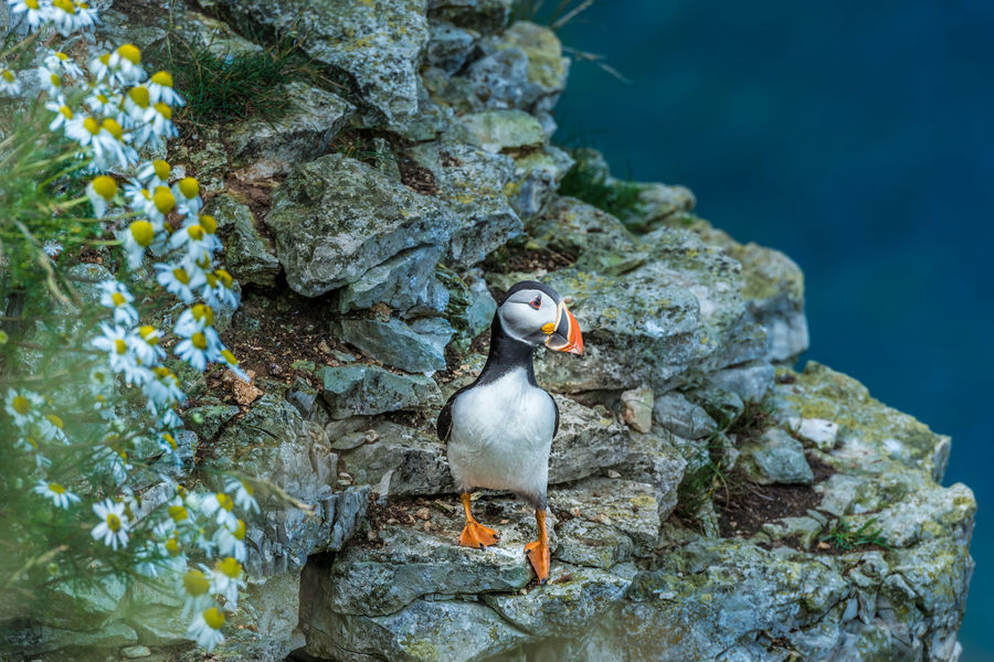 Animal Themes Animal Wildlife Animals In The Wild Beauty In Nature Bird Cave Close-up Day Nature No People One Animal Outdoors Perching Puffin Puffins Rock - Object Sea Life Seabirds Seabirds In Flight Swimming UnderSea Underwater Water