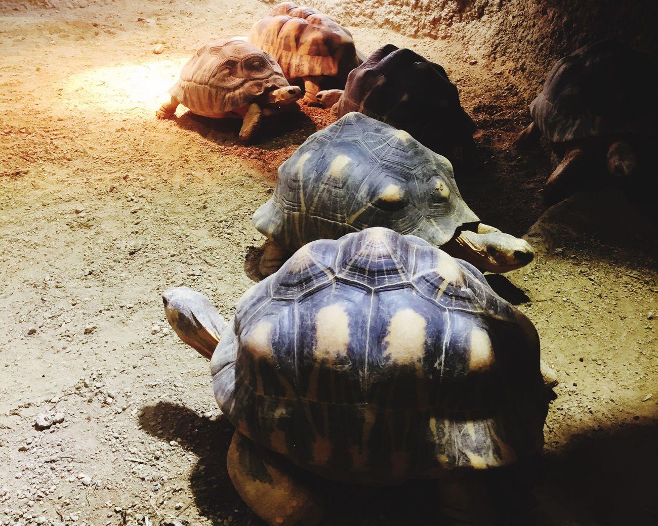 みんな集合🐢 EyeEm EyeEmJapan EyeEm Nature Lover Eyeem Animal Lovers Hello World Taking Photos By Me Kyotocityzoo 京都市動物園 インドホシガメ Indian Starred Tortoises Red List Least Concern レッドリスト 密輸はやめて Reptiles Turtles リクガメ