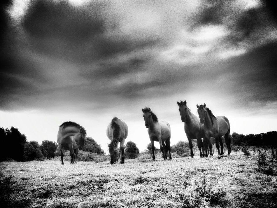 wild horses Horses Dutch Landscape Landscape Nature Photography Januarychallenge January2016 Januaryphotochallenge Showcase : January