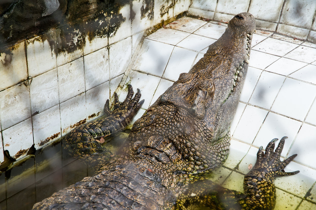 reptile, no people, day, animal themes, animals in the wild, crocodile, one animal, indoors, nature, close-up