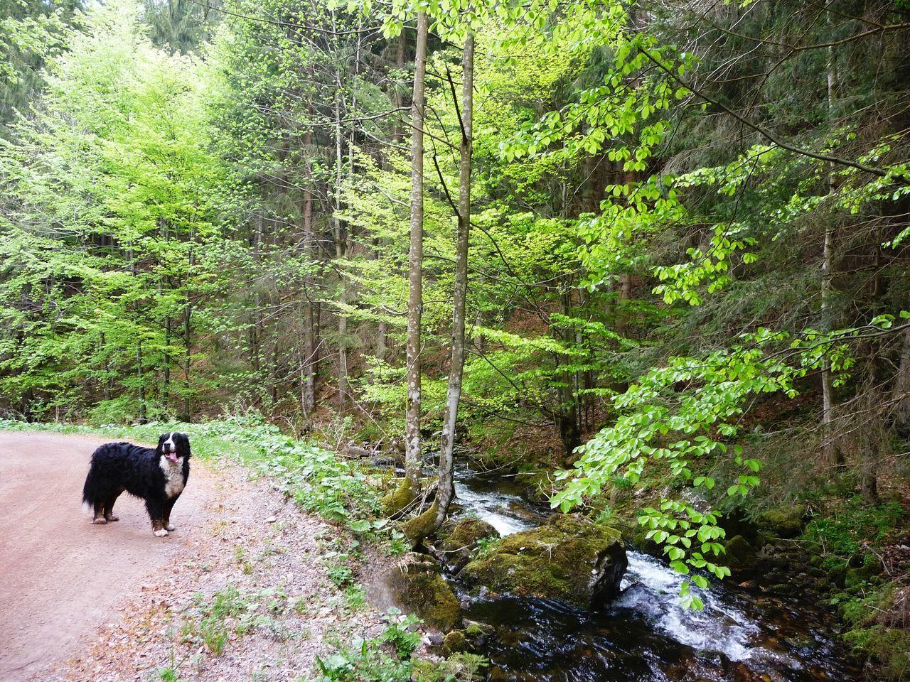 GERMANY🇩🇪DEUTSCHERLAND@ 2008 May Schwarzwald Black Forest Dog Greater Swiss Mountain Dog