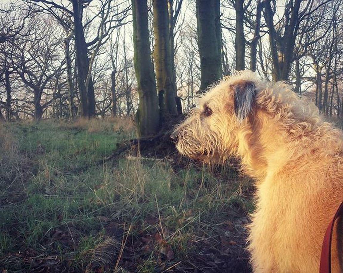 Blondie. Dogsofinstagram Dogstagram Irishwolfhound Dailybarker Bestoftheday Irishgirl Curlyhair Curls Listening Picoftheday Woods Ireland
