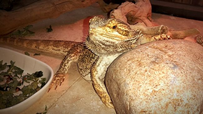 Bearded Dragon Pogona Reptile Ed Rescued Living The High Life Hanging Out Enjoying Life