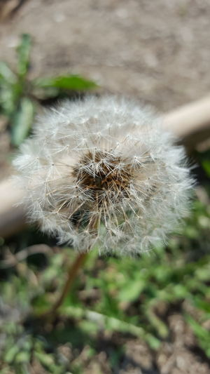 Dandelion Fragility Close-up Plant Growth Uncultivated Softness Focus On Foreground Stem Natural Pattern Nature Freshness Selective Focus Seed Flower Flower Head Beauty In Nature Day Single Flower Dandelion Seed