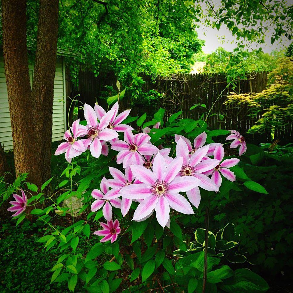 ©Ann Norsworthy-Rigley Clematis Backyard Blooms Nature Flowers,Plants & Garden IoLIGHTstudios