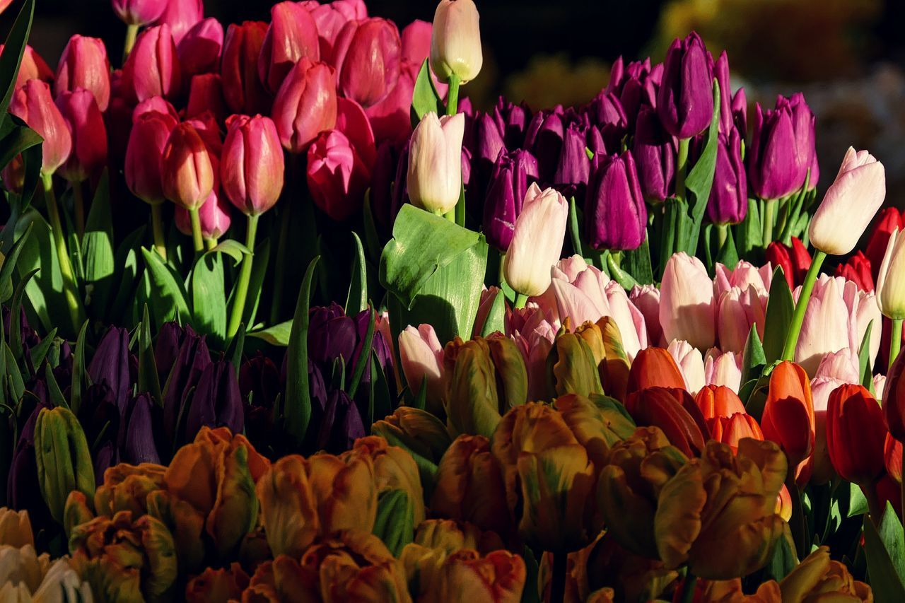 Beautiful stock photos of tulip, Beauty In Nature, Blooming, Bunch Of Flowers, Choice