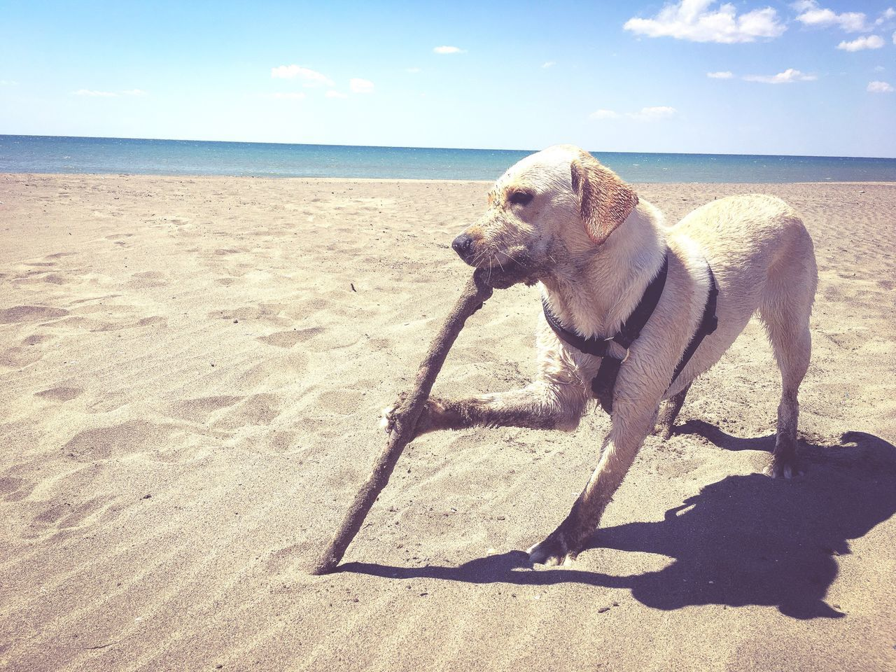 dog, sand, beach, one animal, pets, mammal, domestic animals, shadow, sunlight, sea, animal themes, sky, nature, outdoors, horizon over water, day, no people, standing, water, beauty in nature