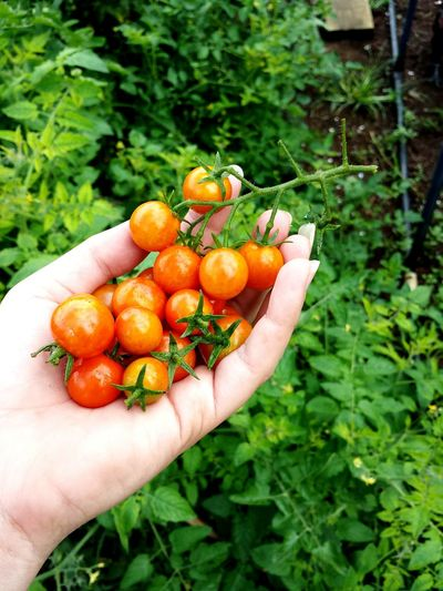I Grew This Organic Growing Gardening Spring Greenthumbs Organic Food Tomato Tomatos Food And Drink Freshness Lifestyles Juicy Ready-to-eat Fruit Healthy Lifestyle Gardener Healthy Eating Holding EyeEm Best Shots Human Body Part Outdoors