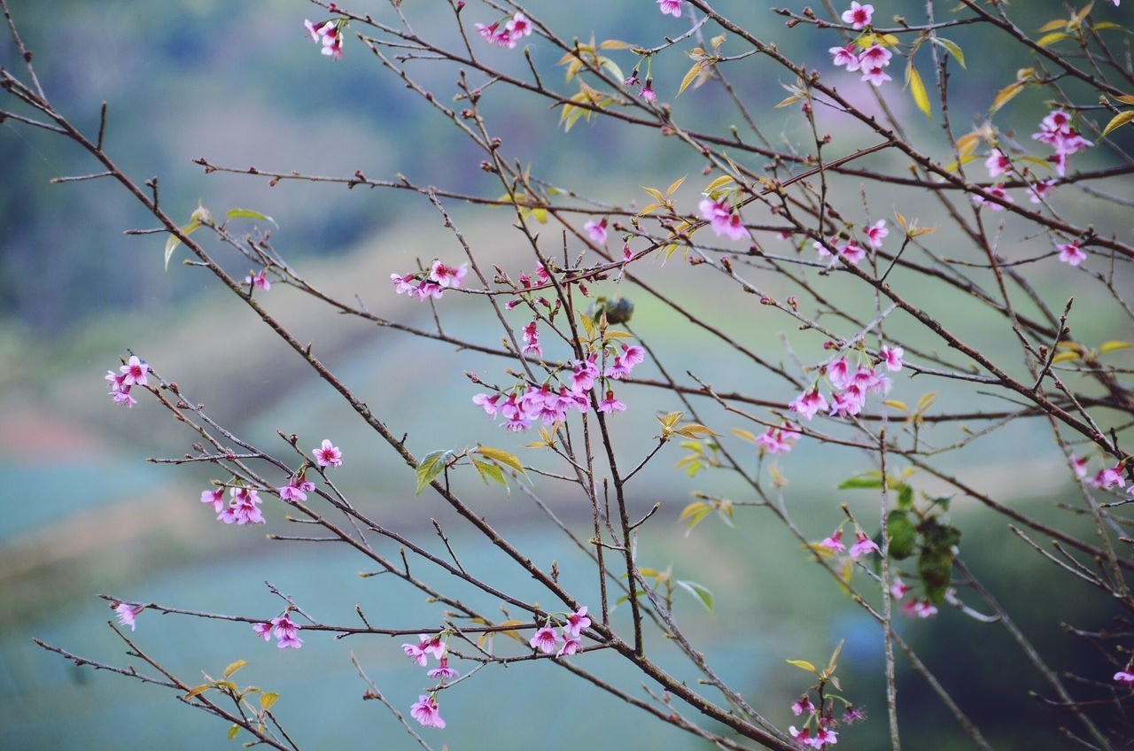 Twig Twigs And Branches Wild Himalayan Cherry Tree Flower Tranquility Thailand From My Point Of View Nature EyeEm Nature Lover